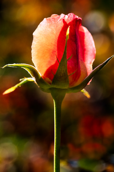 Delicate pink and peach rosebud, light from behind against a dark bokeh background