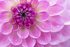 Extreme closeup of the vibrant purple  center of a Cloudburst Dahlia with water droplets.  Center sharply in focus, fading to dreamy color on edges.