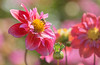 Happiness is a dahlia garden, wilsonville, OR