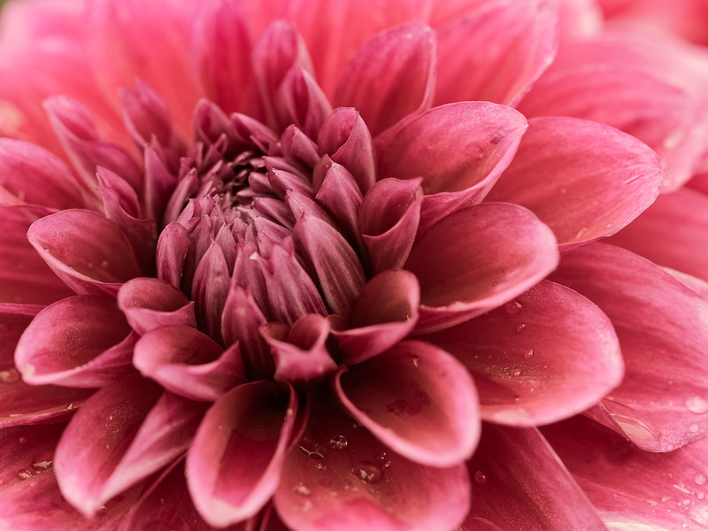 Closeup of a lush red American Beauty Dahlia, somewhat de-saturated for a vintage look.  Bud looks out of frame to the left, allowing rows of perfect petals to flow thru the image.