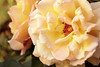 Shallow focus on a dreamy light yellow rose, with another in the background.