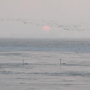 Swans Rising 05