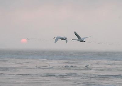 Swans Rising 09 - Copy