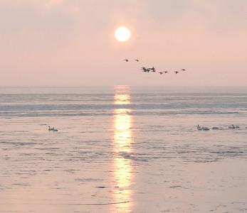 Swans Rising 16