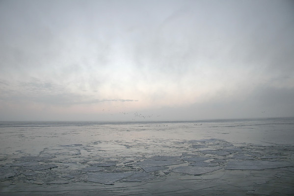 Swans Rising
