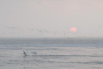 Swans Rising 11