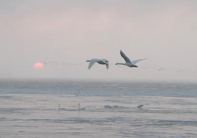 Swans Rising 09