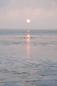 Swans Rising 12