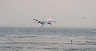 Swans Rising 08
