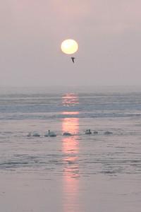 Swans Rising 06