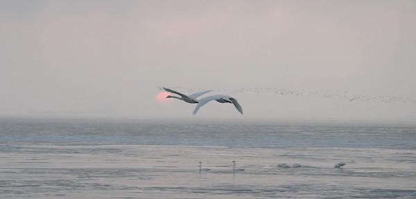 Swans Rising 01