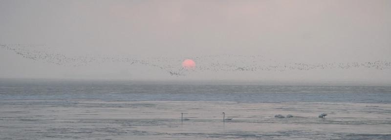 Swans Rising 10