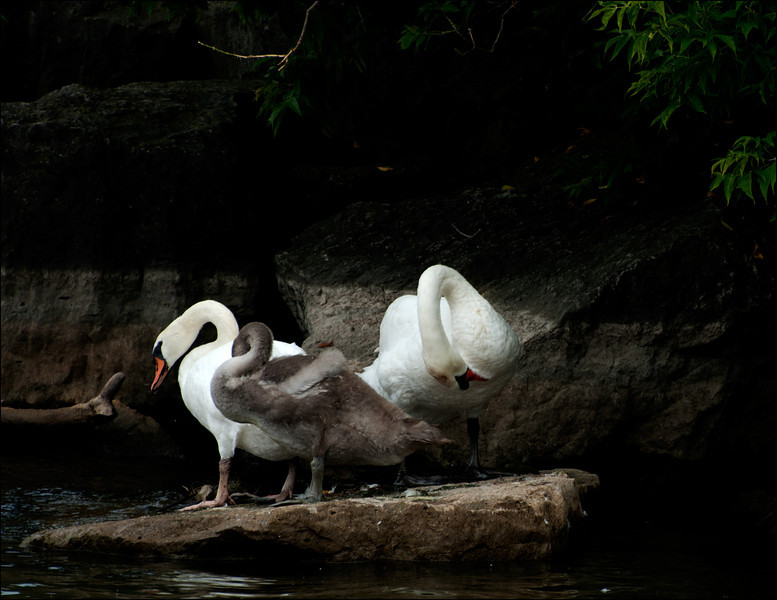 Presenting Mr and Ms Swan and little cyggie, the Cygnet
