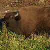 A bison came close to graze on the foliage.