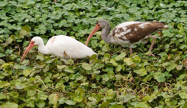 Paynes Prairie State Park, Florida. Mature and immature white ibis.