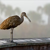 Limpkin as the early fog burns off in Sweetwater Wetlands.