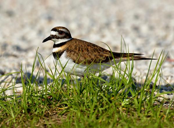 Killdeer near nest in gravel roadway at Sweetwater Wetlands Park, Gainesville, Florida.