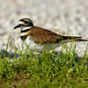Killdeer near nest in gravel roadway at Sweetwater Wetlands Park, Gainesville, Florida.