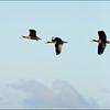 Black-bellied Whistling-Ducks, Sweetwater Wetlands. Gainesville, Florida