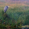 Great blue heron in early light in Sweetwater Wetlands.