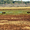Florida bison and wild horses in Paynes Prairie.
