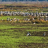 Sand hill cranes by the thousands on a December 2016 afternoon on Paynes Prairie..