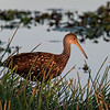 A limpkin in early light.