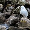 Sweetwater Wetlands. Snowy egret.