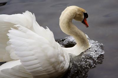 Swan, Limmat River - Zurich