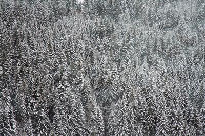 Snow on Pines - GoldenPass Line