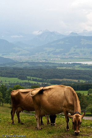 Swiss Cows II - Switzerland