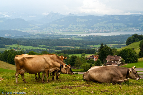 Swiss Cows - Switzerland