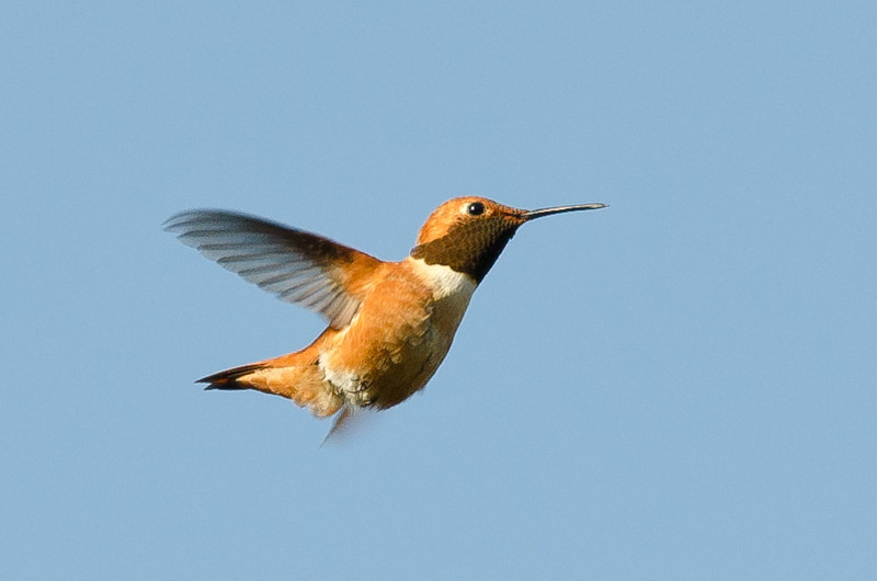 hummingbird-7320