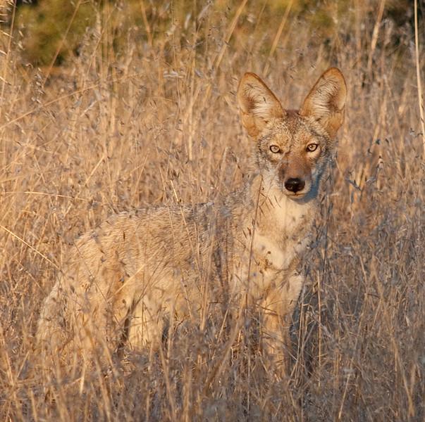 coyote_5654