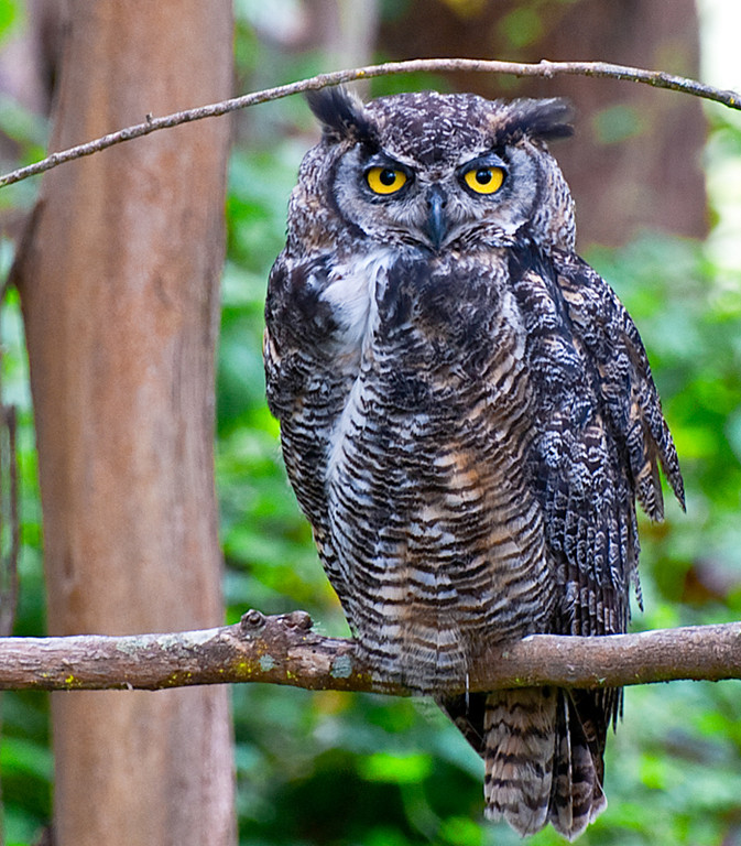 great_horned_owl_3165