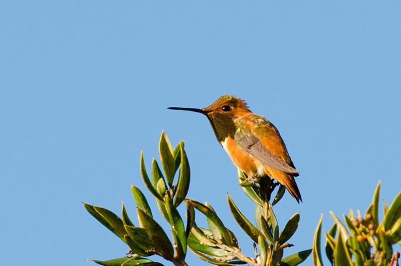 hummingbird-7312
