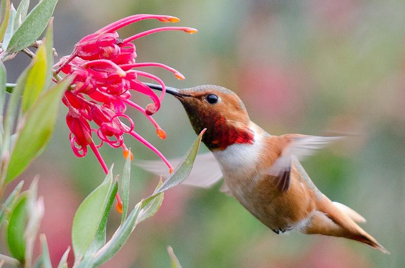 hummingbird-1745