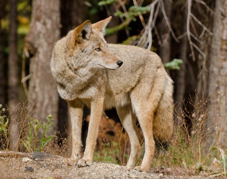 coyote-7224