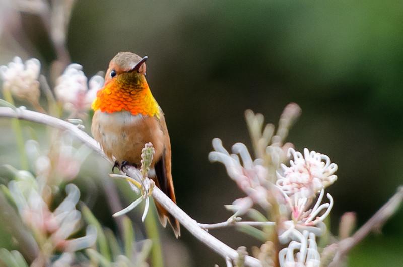 hummingbird-1737
