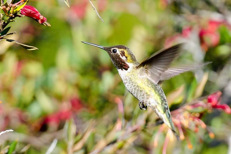hummingbird-7306