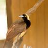 Raggiana Bird of paradise