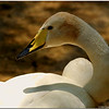 A beautiful Swan
