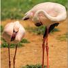 More Lesser Flamingos