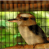 Kookaburra Kingfisher
