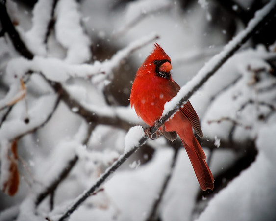 Tom Jungroth Crystal, MN Cardinal in the morning snow