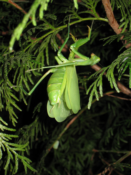 A gorgeous female praying mantis we spotted just chillin' in a tree.