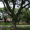 Side view of the campus mall from a much closer perspective.  This was one of many huge, old, somewhat gnarled-looking trees on campus.