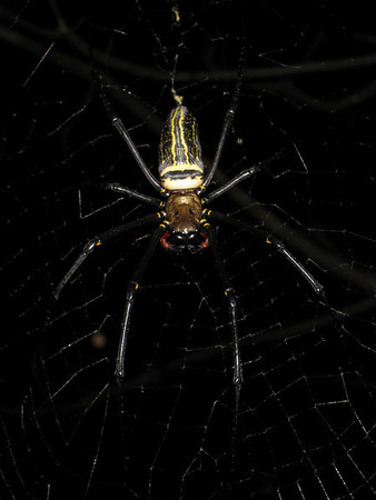Anne took this photo of a female Nephila pilipes, the most close-up photo we were to get of one of these spiders.