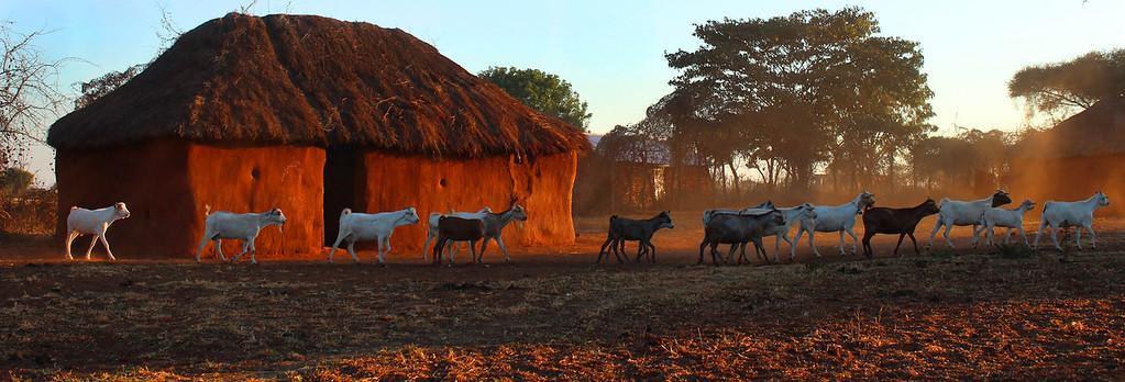 Goats follow their herder through the boma they call home. Simanjiro Plains, Tanzania.