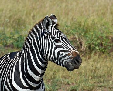 Zebra Portrait, Serengeti National Park, Tanzania